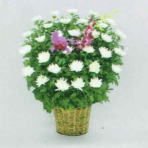 白菊タイプ